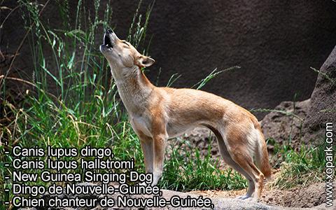 New Guinea Singing Dog –Canis lupus dingo –Chien chanteur de Nouvelle-Guinée – xopark1