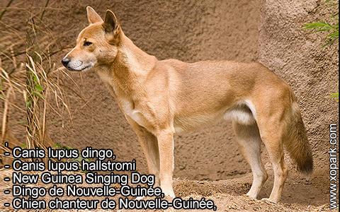 New Guinea Singing Dog –Canis lupus dingo –Chien chanteur de Nouvelle-Guinée – xopark2