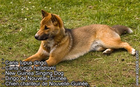New Guinea Singing Dog –Canis lupus dingo –Chien chanteur de Nouvelle-Guinée – xopark3