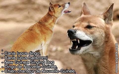 New Guinea Singing Dog –Canis lupus dingo –Chien chanteur de Nouvelle-Guinée – xopark4