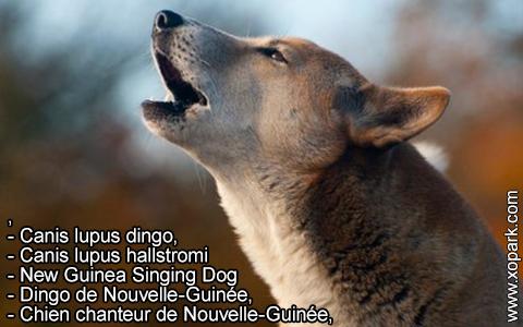 New Guinea Singing Dog –Canis lupus dingo –Chien chanteur de Nouvelle-Guinée – xopark5