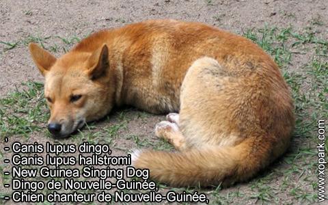 New Guinea Singing Dog –Canis lupus dingo –Chien chanteur de Nouvelle-Guinée – xopark6