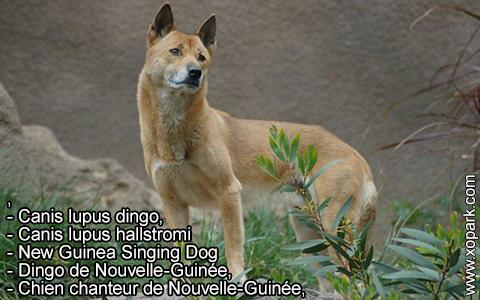 New Guinea Singing Dog –Canis lupus dingo –Chien chanteur de Nouvelle-Guinée – xopark7