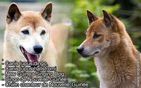 New Guinea Singing Dog –Canis lupus dingo –Chien chanteur de Nouvelle-Guinée – xopark8