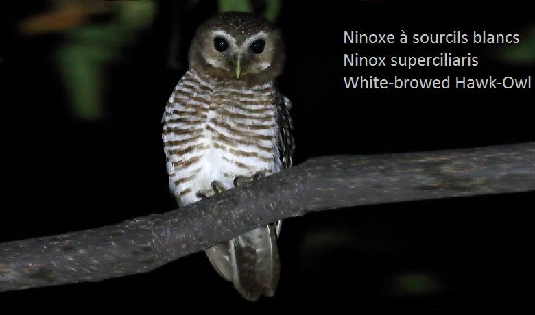 Ninoxe à sourcils blancs - Ninox superciliaris - White-browed Hawk-Owl