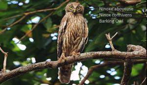 Ninoxe aboyeuse - Ninox connivens - Barking Owl