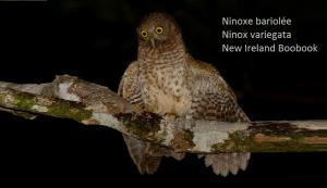 Ninoxe bariolée - Ninox variegata - New Ireland Boobook