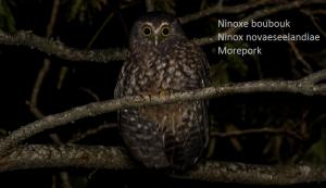 Ninoxe boubouk - Ninox novaeseelandiae - Morepork