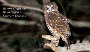Ninoxe d'Australie - Ninox boobook - Southern Boobook