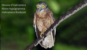 Ninoxe d'Halmahera - Ninox hypogramma - Halmahera Boobook