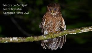 Ninoxe de Camiguin - Ninox leventisi - Camiguin Hawk-Owl