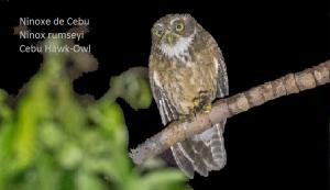 Ninoxe de Cebu - Ninox rumseyi - Cebu Hawk-Owl