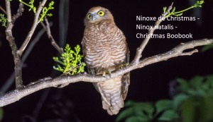 Ninoxe de Christmas - Ninox natalis - Christmas Boobook