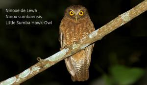 Ninoxe de Lewa - Ninox sumbaensis - Little Sumba Hawk-Owl