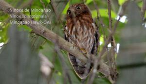Ninoxe de Mindanao - Ninox spilocephala - Mindanao Hawk-Owl