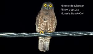 Ninoxe de Nicobar - Ninox obscura - Hume's Hawk-Owl
