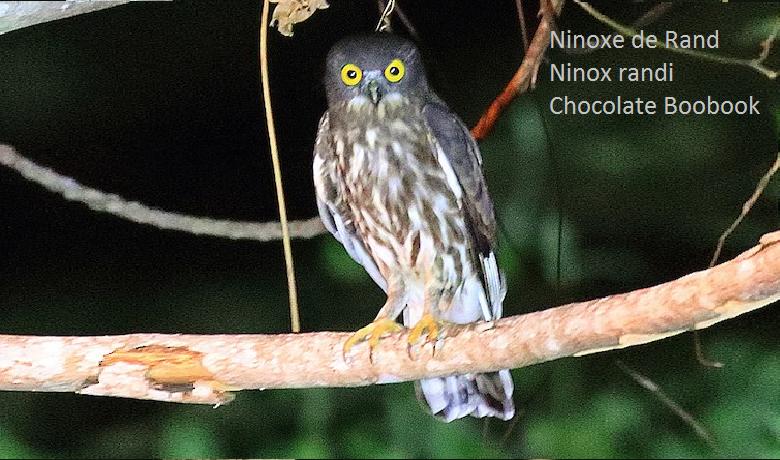 Ninoxe de Rand - Ninox randi - Chocolate Boobook