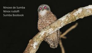 Ninoxe de Sumba - Ninox rudolfi - Sumba Boobook