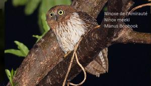 Ninoxe de l'Amirauté - Ninox meeki - Manus Boobook