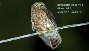 Ninoxe des Andaman - Ninox affinis - Andaman Hawk-Owl