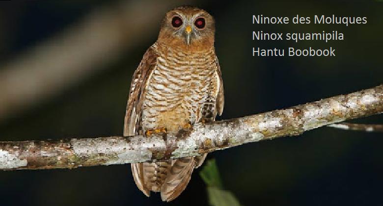 Ninoxe des Moluques - Ninox squamipila - Hantu Boobook