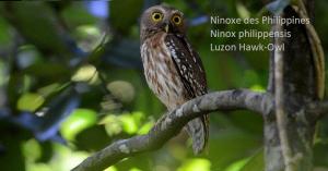 Ninoxe des Philippines - Ninox philippensis - Luzon Hawk-Owl
