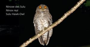 Ninoxe des Sulu - Ninox reyi - Sulu Hawk-Owl