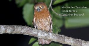 Ninoxe des Tanimbar - Ninox forbesi - Tanimbar Boobook