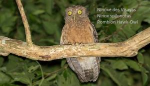Ninoxe des Visayas - Ninox spilonotus - Romblon Hawk-Owl