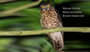 Ninoxe hirsute - Ninox scutulata - Brown Hawk-Owl