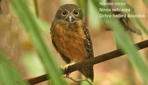 Ninoxe ocrée - Ninox ochracea - Ochre-bellied Boobook
