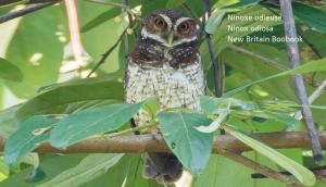 Ninoxe odieuse - Ninox odiosa - New Britain Boobook