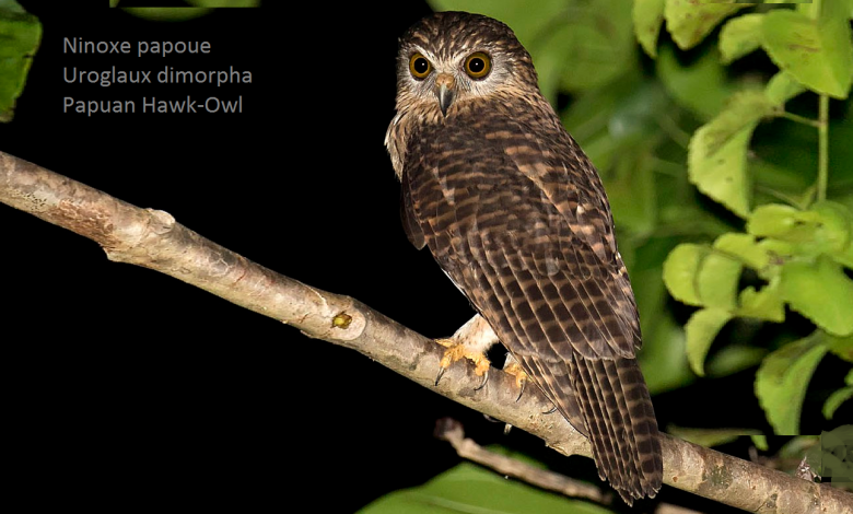Ninoxe papoue - Uroglaux dimorpha - Papuan Hawk-Owl