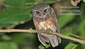 Ninoxe pointillée - Ninox punctulata - Speckled Boobook