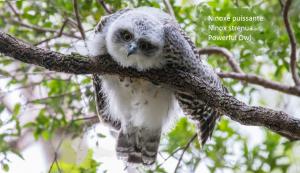 Ninoxe puissante - Ninox strenua - Powerful Owl