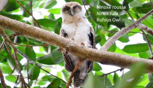 Ninoxe rousse - Ninox rufa - Rufous Owl