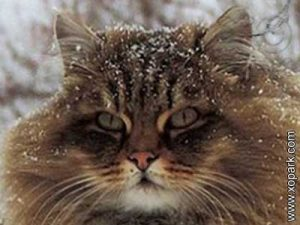 Norvégien,Norwegian Forest cat,Norsk skogkatt
