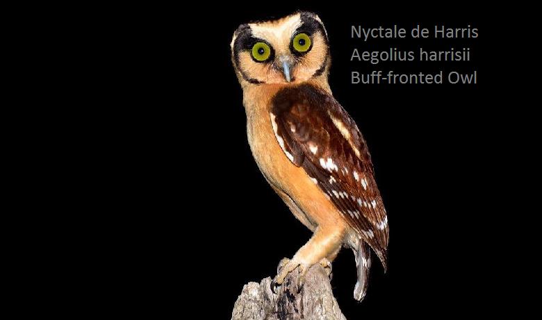 Nyctale de Harris - Aegolius harrisii - Buff-fronted Owl