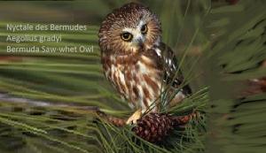 Nyctale des Bermudes - Aegolius gradyi - Bermuda Saw-whet Owl