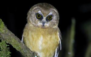 Nyctale immaculée - Aegolius ridgwayi - Unspotted Saw-whet Owl