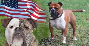 Old English Bulldog -English Bulldog -Bulldog -Bouledogue vieux anglaise