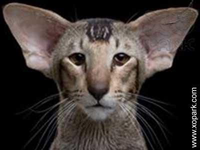 Oriental shorthair, Chatoriental