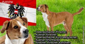 Osterreichischer Pinscher,Austrian Pinscher,Österreichischer Kurzhaarpinscher,Austrian Shorthaired Pinscher,Pinscher autrichien