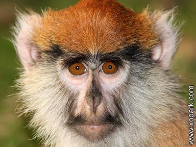 Patas - Erythrocebus patas -Singe rouge -Patas monkey -Erythrocebus