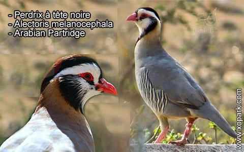 Perdrix à tête noire – Alectoris melanocephala – Arabian Partridge – xopark1