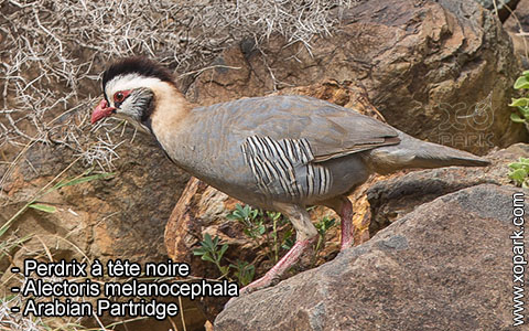 Perdrix à tête noire – Alectoris melanocephala – Arabian Partridge – xopark2