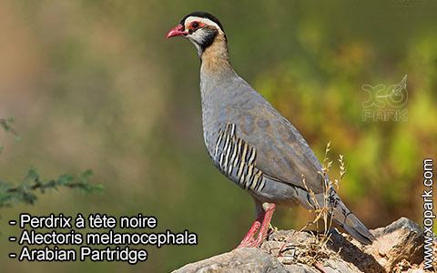 Perdrix à tête noire – Alectoris melanocephala – Arabian Partridge – xopark3