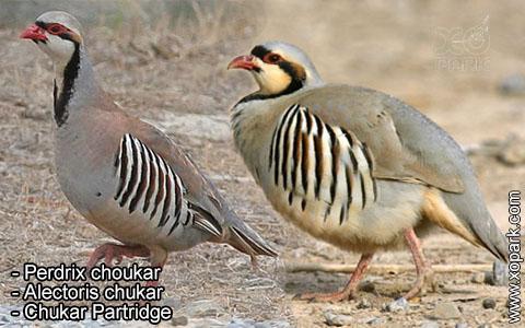 Perdrix choukar – Alectoris chukar – Chukar Partridge – xopark1
