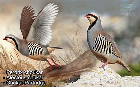 Perdrix choukar – Alectoris chukar – Chukar Partridge – xopark10