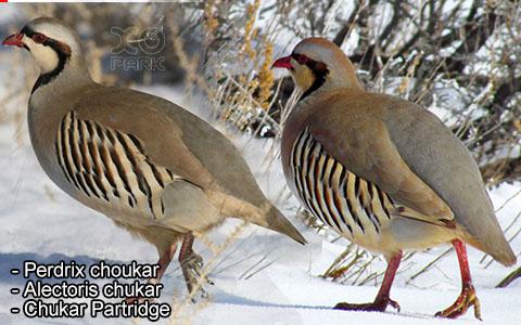 Perdrix choukar – Alectoris chukar – Chukar Partridge – xopark2